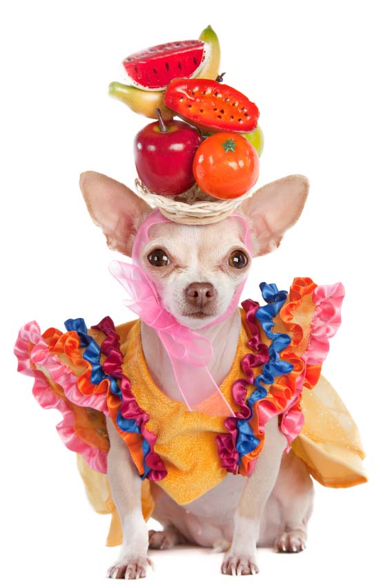 Chihuahua ready to do the Rumba
