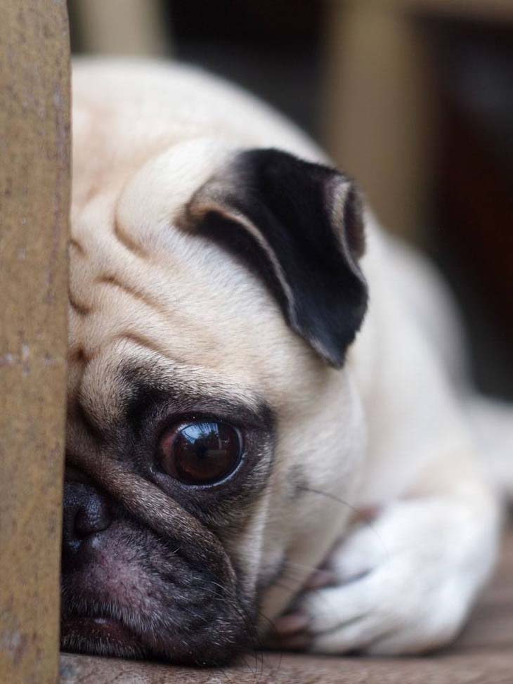 Sad and lonely Pug