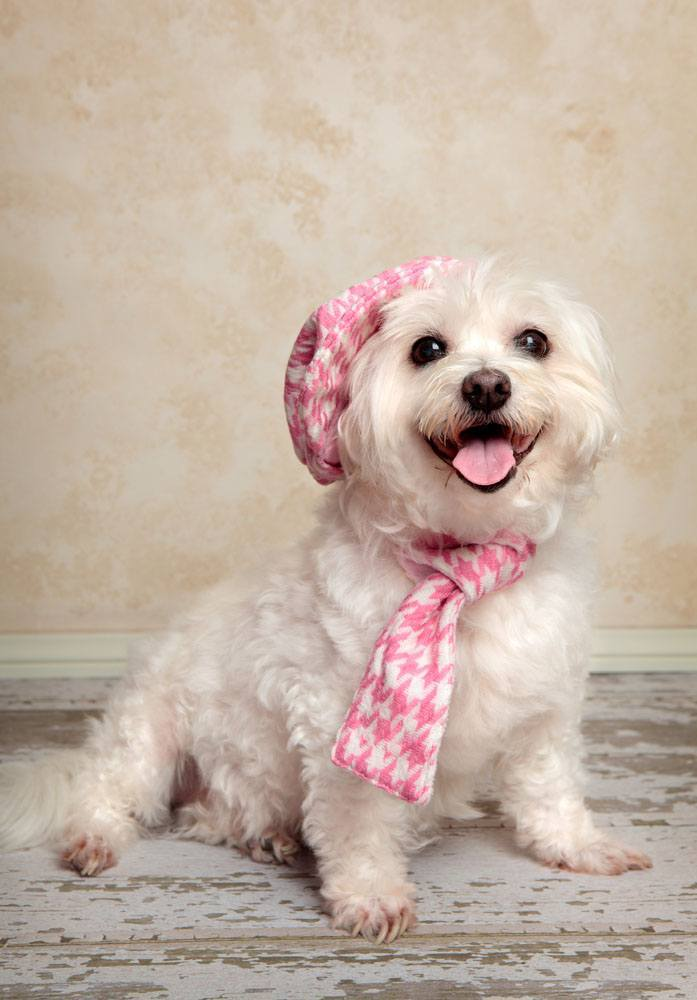 Dapper Maltese stepping out on the town