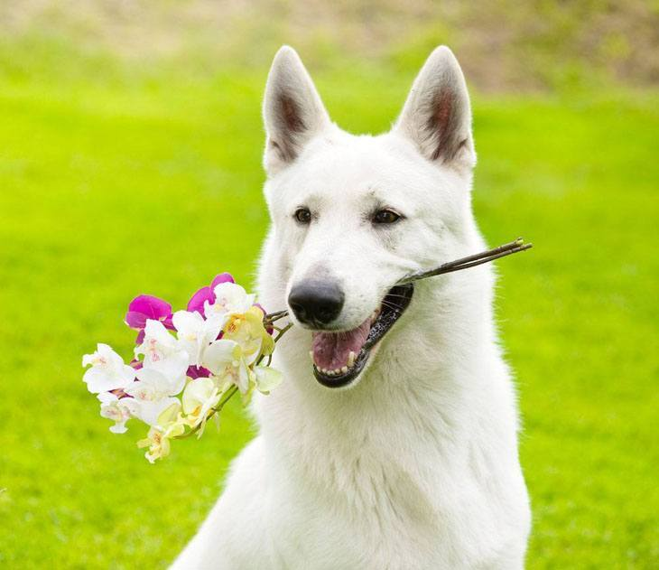 White pooch holding a flower