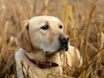 hunting retriever dog