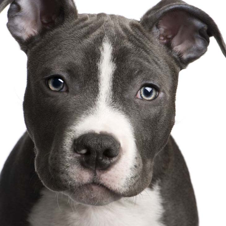 Pit Bull watching you watching him