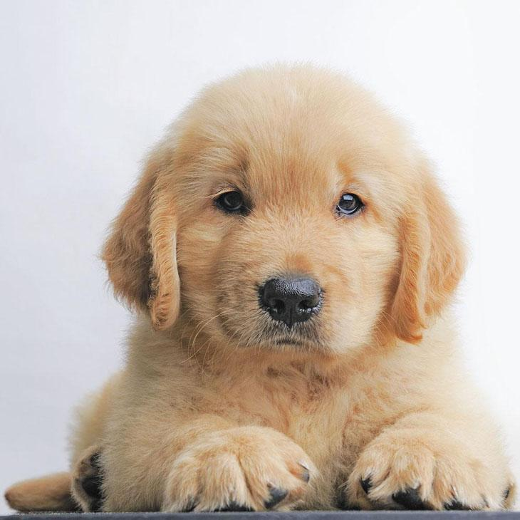 Golden Retriever puppy ready to pounce