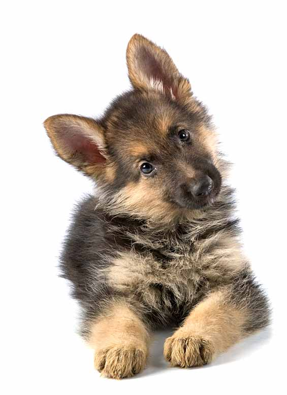 Curious German Shepherd puppy