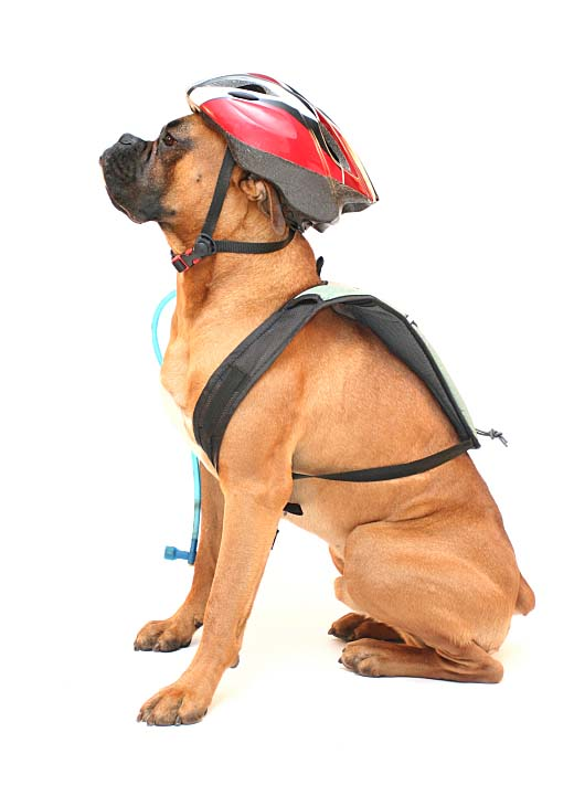 Boxer can't wait for a bike ride