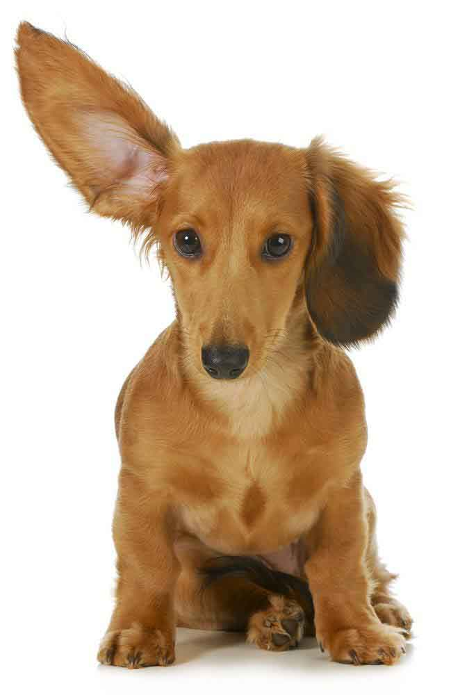 Dachshund is hearing everything you say