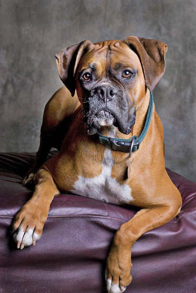 Don't choose an average name for your Boxer when the most popular Boxer dog names can be found here... https://www.dog-names-and-more.com/Boxer-Dog-Names.html
