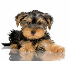 Loveable Yorkie