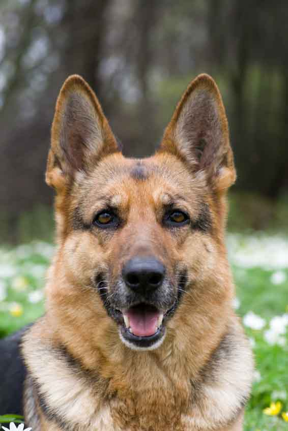 Beautiful German Shepherd ready to play