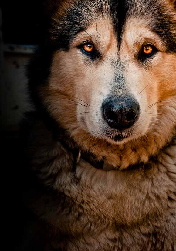 Beautiful Malamute