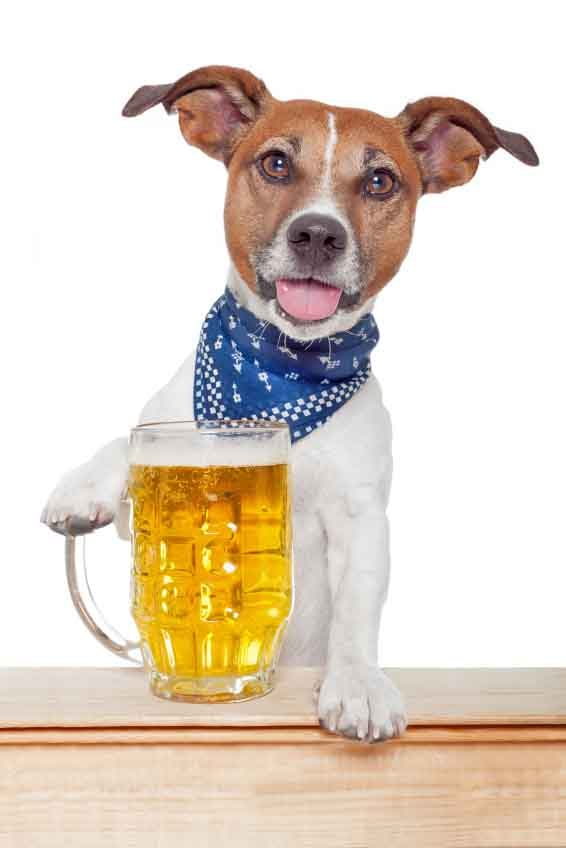 Beer drinking dog