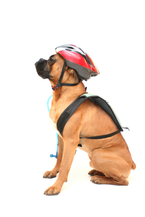 Cool Boxer ready for a bike ride