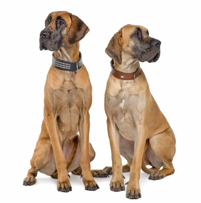 Great Dane brothers