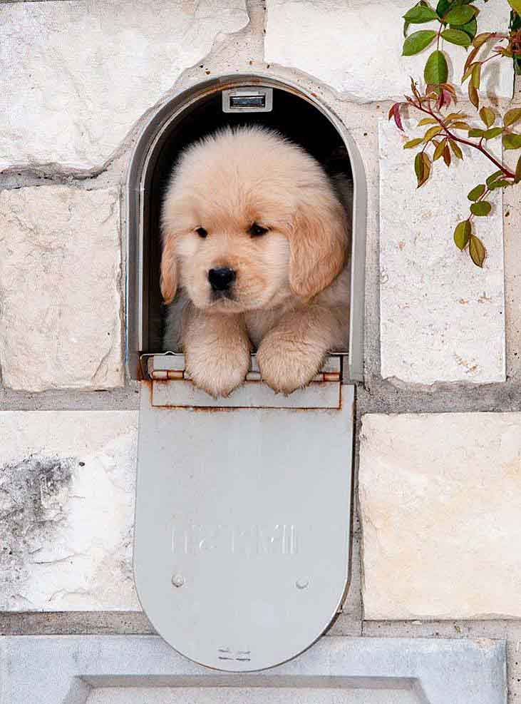 golden retriever puppy special delivery