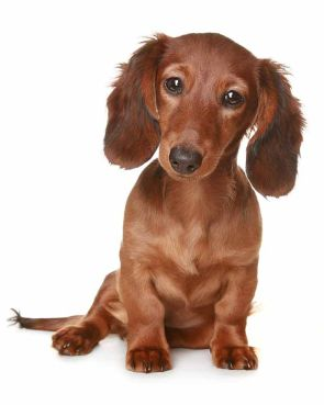 Long haired Dachshund puppy cuteness
