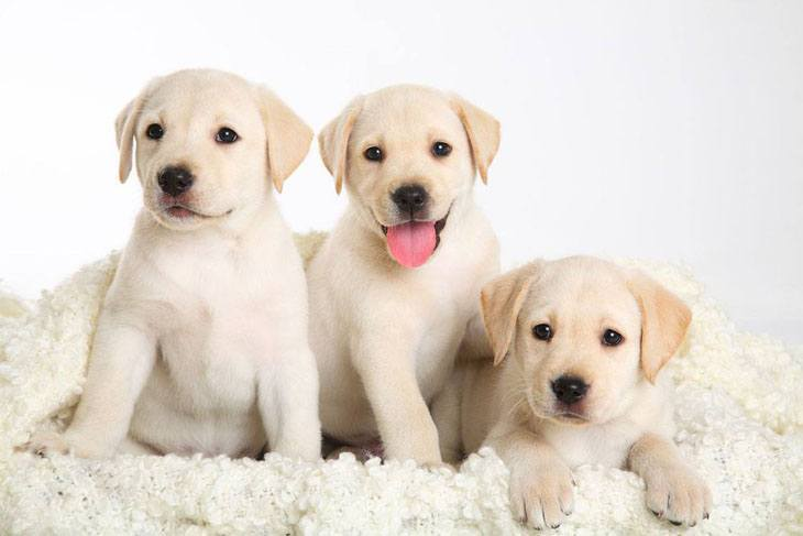 Three Yellow Lab puppies that can't wait to play