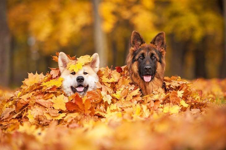 Two German Shepherd puppies loving the fall time