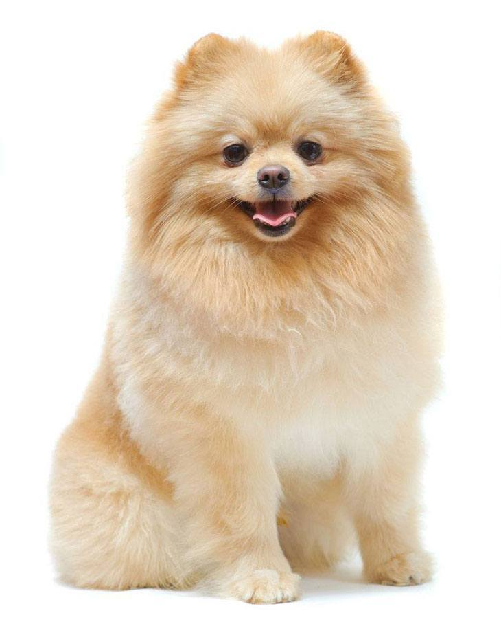 Pomeranian Names For Your Male Or Female Puppy