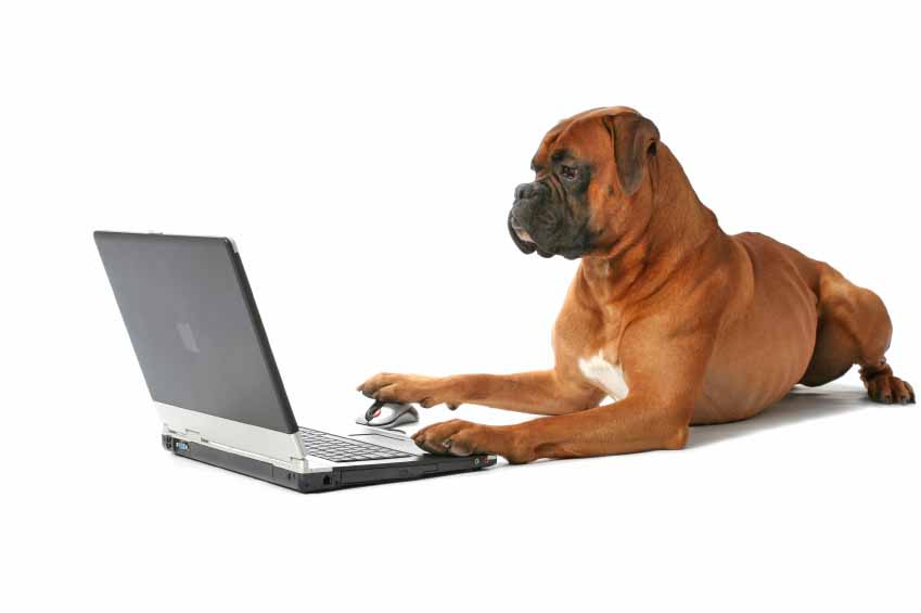 Boxer surfing the internet