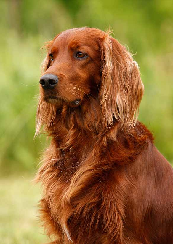 Beautiful Irish Setter looking for cute names for girl dogs