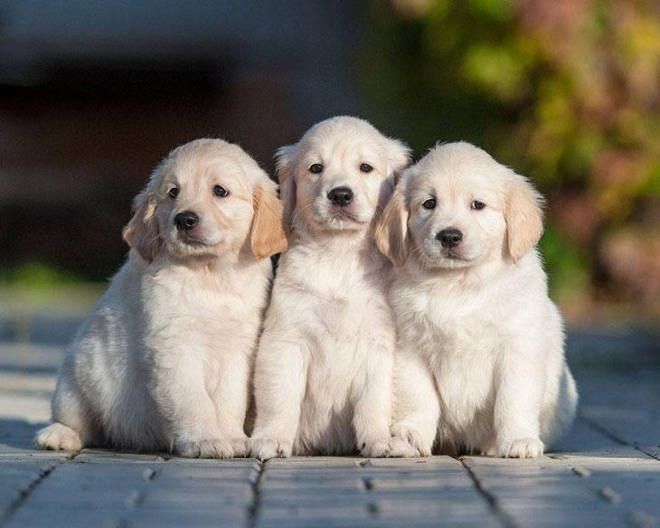 Three puppy amigos