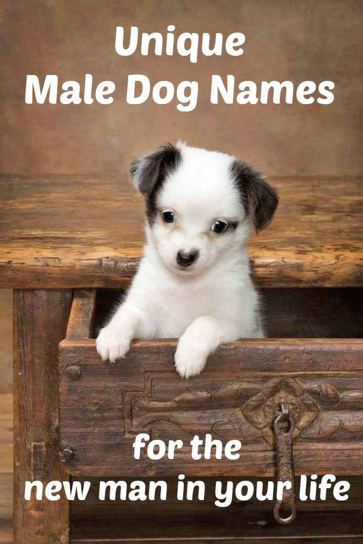Chihuahua puppy looking for a unique male dog name