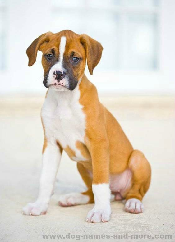 Boxer puppy looking for someone to play with