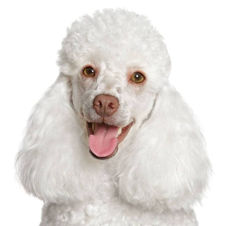 Pure white smiling Poodle