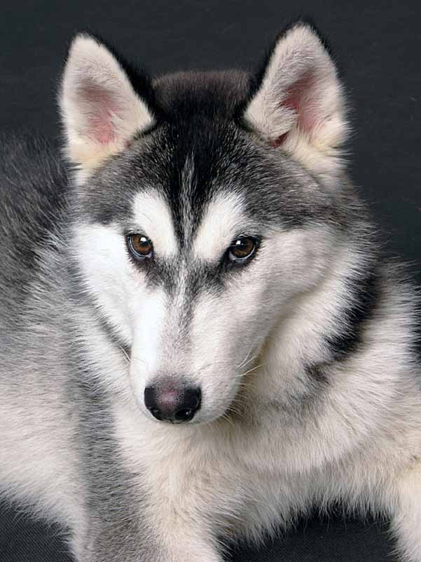 Siberian Husky beauty