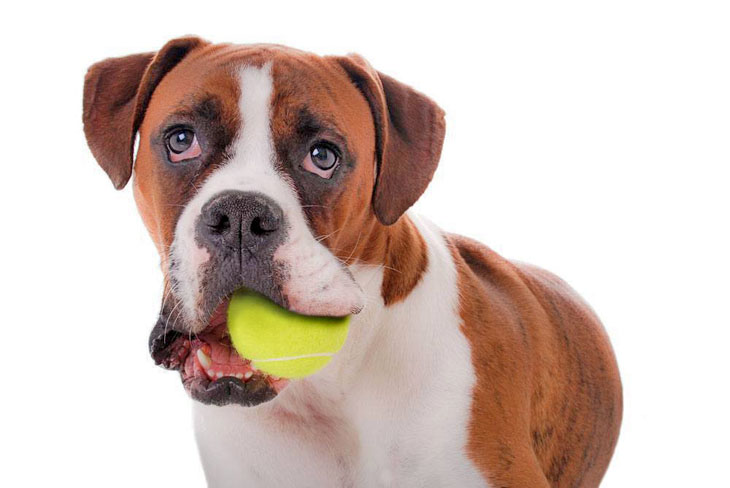 Boxer hoping anyone will throw his ball