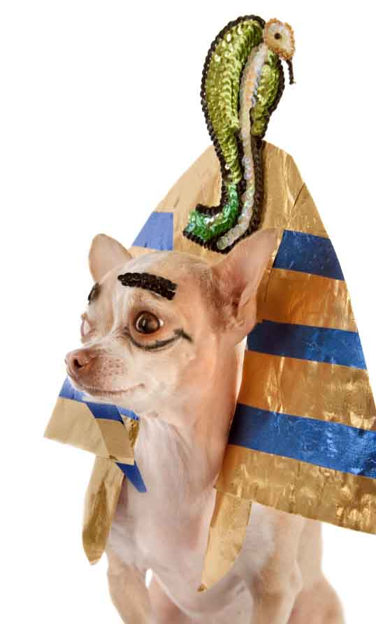 A Chihuahua named Ramses