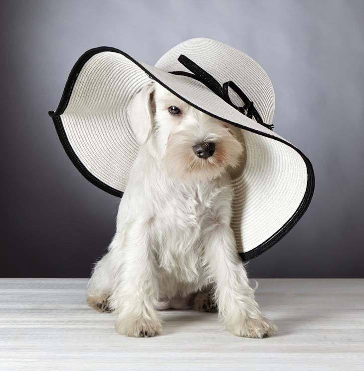 Colors For Their Costs Range From Solid Black White Salt And Pepper Many Miniature Schnauzers Have A Silver Outer Coat With Very Soft Undercoat