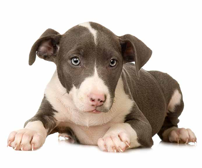 Pit Bull puppy ready to pounce