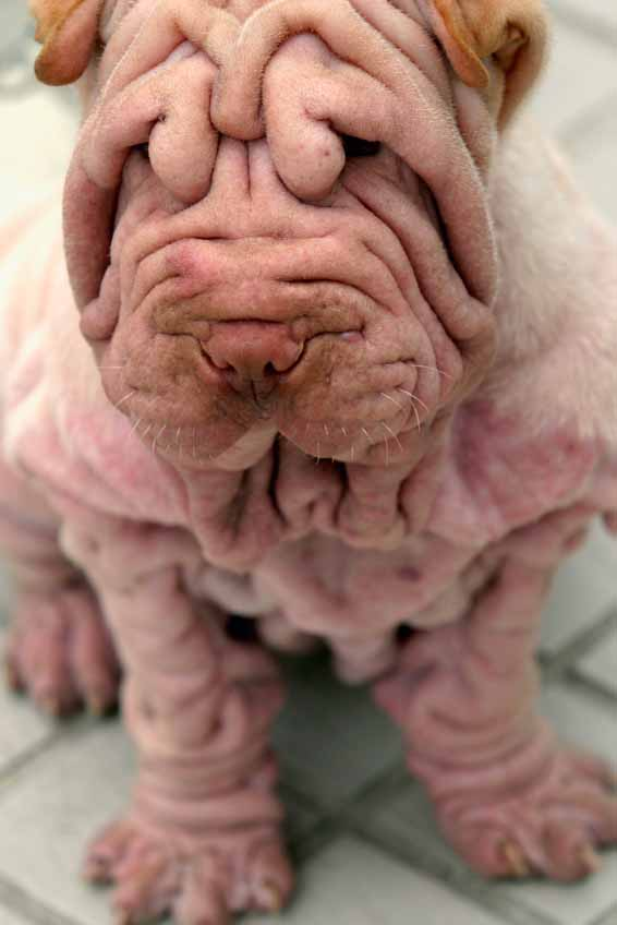 Shar Pei puppy waiting for Chinese dog names