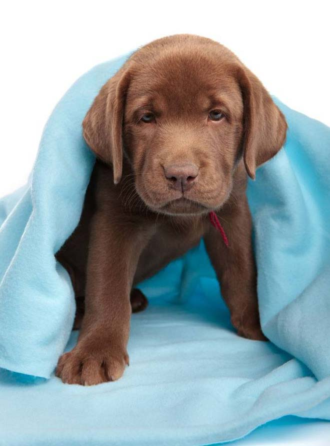 Chocolate Lab puppy looking for a new name