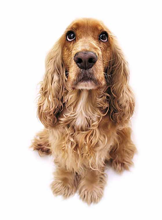 Cocker Spaniel with a beautiful coat