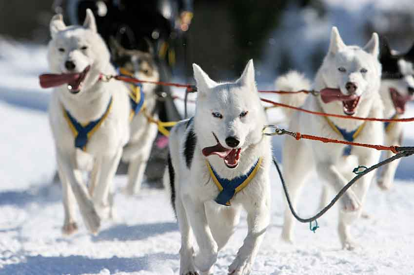 Sled dogs sledding