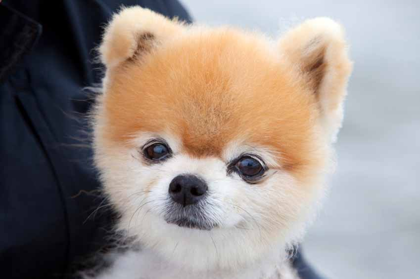 Cute Puppy that looks like Boo