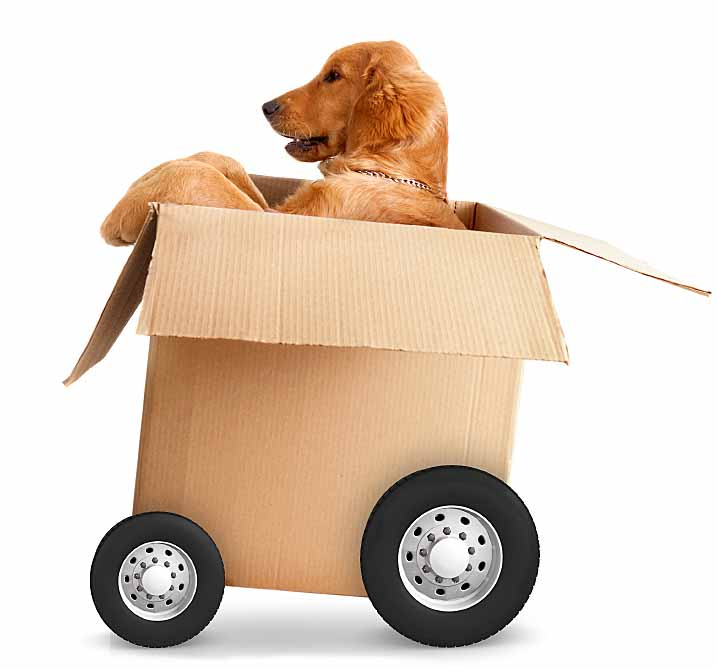 Golden Retriever driving his box