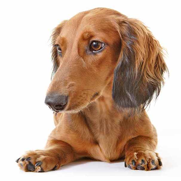 Brown long haired Dachshund ready for some doggy action
