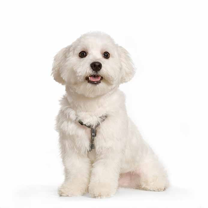 White Maltese cutie pie