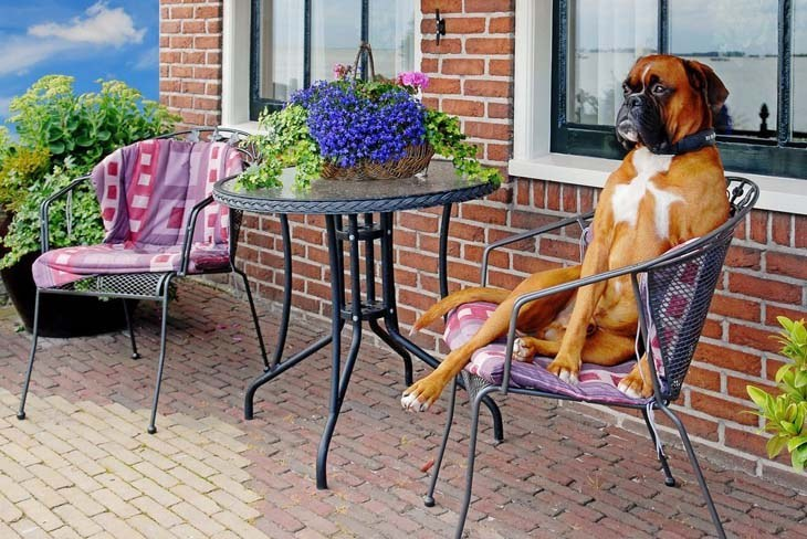Lounging Boxer dog hoping someone will bring it a cold drink