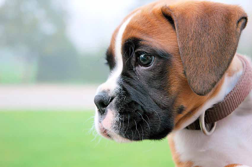 Boxer puppy on the lookout