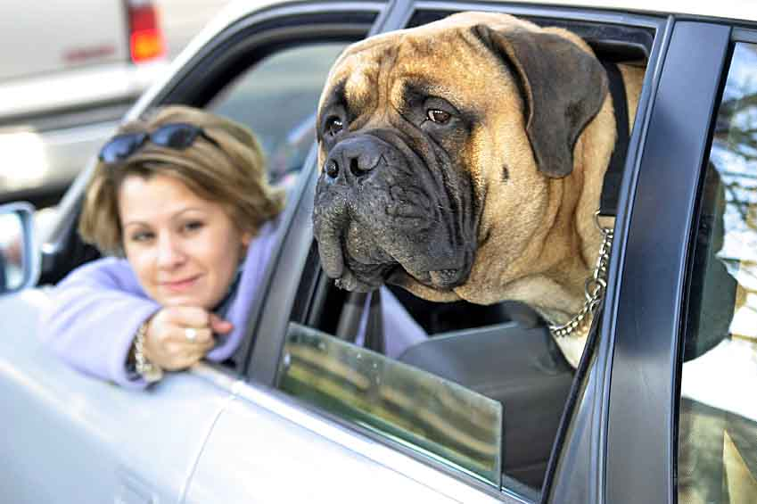 Mastiff and it's much smaller owner