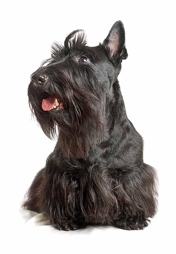 Beautiful black Scottish Terrier