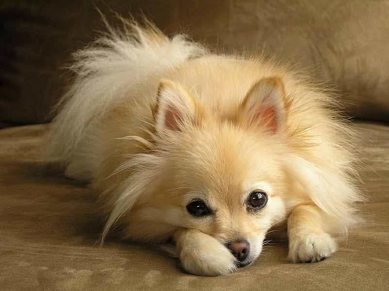 Pomeranian puppy taking a break