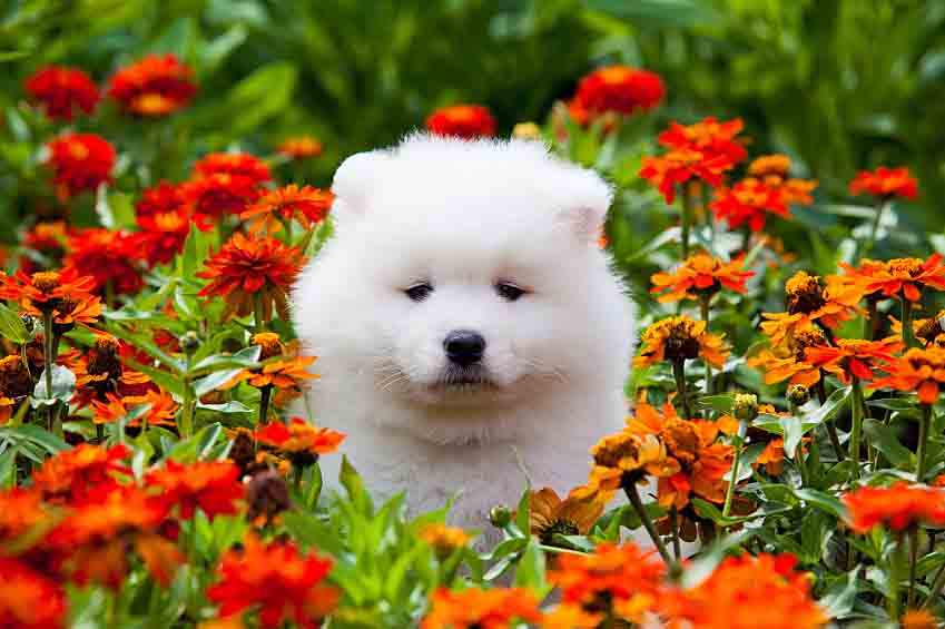 Samoyed puppy posing in the flowers