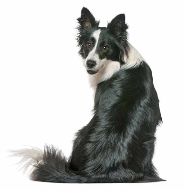 Border Collie with a beautiful coat