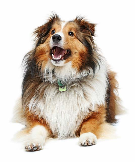 Beautifully colored Collie