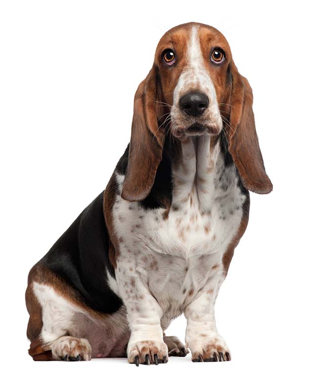 Basset Hound watching you watching him